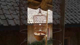 Terapi burung branjangan agar cepat bunyi