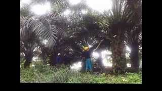 Cantas Oil Palm Motorized Cutter Demo