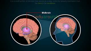 Parts of the brain Midbrain