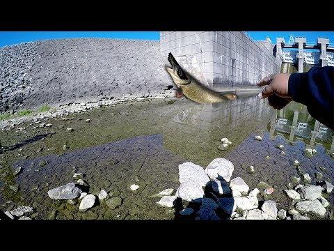 UP CLOSE VIDEO OF ALUM CREEK DAM MUSKIE IN WESTERVILLE, OHIO