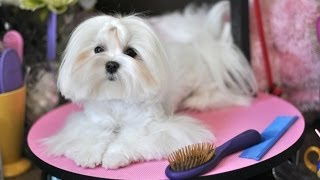 Maltese Grooming:    Dolce's Debut Video Blog   Madan Pin Brush Cc Wooden Pin Brush Review