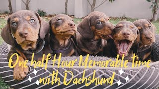 One Half Hour Cute Memorable Time with Dachshund, playful sausage dogs instagram videos compilation