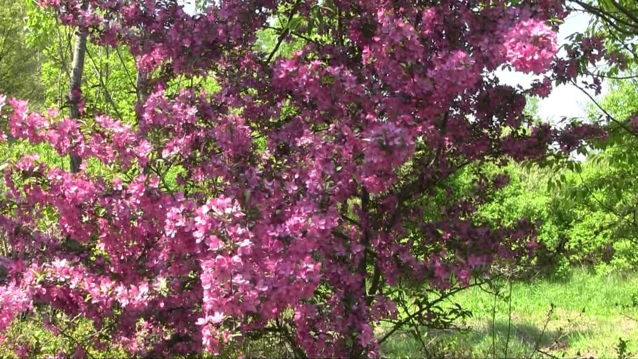 Prairie Fire Crabapple Tree In Bloom Youtube