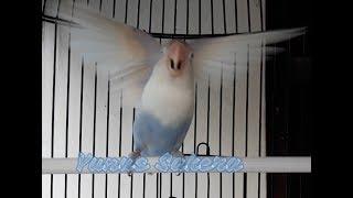 lovebird memancing lawan! ngetik ngekek panjang ampuh untuk pancingan