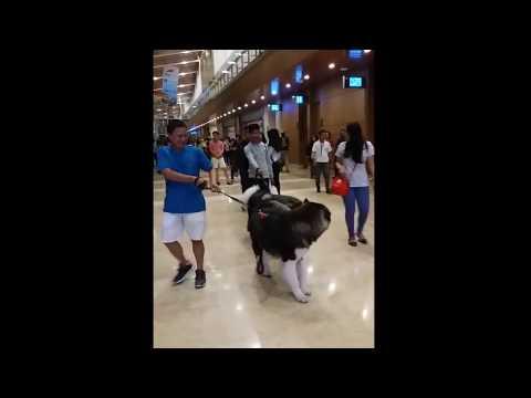 Ini Anjing Apa Serigala, Gede Banget (Big Dog in a Mall)