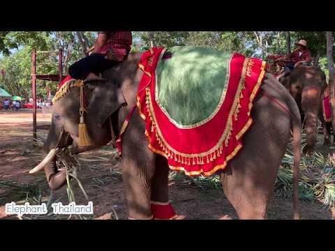 #ช้างแฝด พลายทองคำ พลายทองเเทง elephant twin