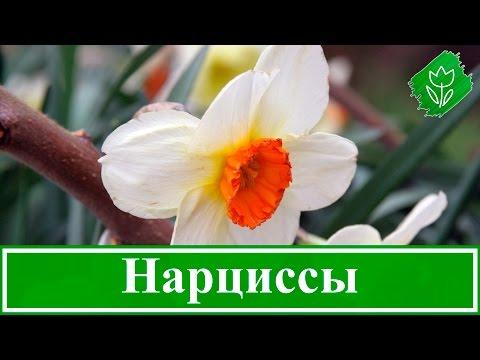 Цветок нарцисс – посадка и уход, выращивание нарцисса и уход после цветения