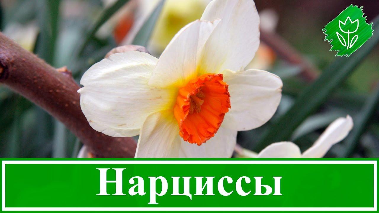Нарциссы - выращивание и уход картинки