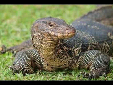 Wild Monitor Lizard - Varanidae - Lagarto gigante - Singapore