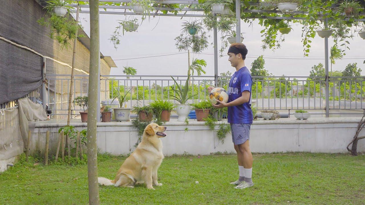 サッカーが大好きなゴールデンレトリバーはボールを見たらこうなります笑