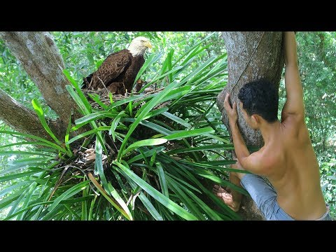 Primitive Research Baby Eagles and Pick up baby Eagle on Tree in the forest   Wilderness Life