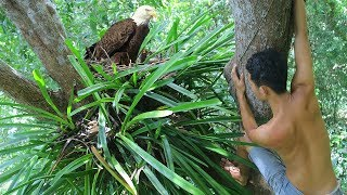 Primitive Research Baby Eagles and Pick up baby Eagle on Tree in the forest | Wilderness Life