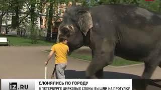 Невероятное видео: По центру Петербурга гуляли четыре слона