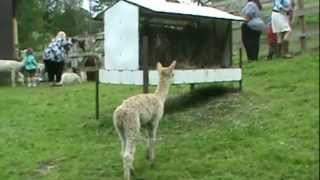 Southwind Farms - Alpacas in Connecticut