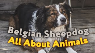 Belgian Sheepdog  All About Dogs