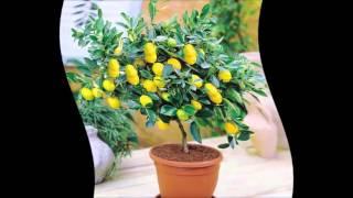 Как посадить лимон(как посадить лимон в домашних условиях.как посадить лимон из косточки.как посадить косточку лимона в домаш..., 2016-02-23T04:12:07.000Z)