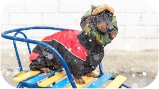 DOG wants to SLEDDING! Cute and funny animal video!