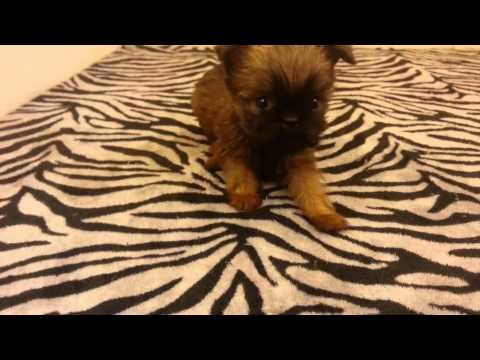 Belle the tiny brussels griffon puppy