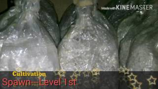 Milky mushroom cultivation method