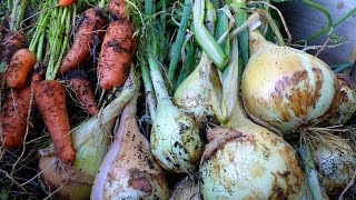 Onion and Carrot harvest and growing Tips