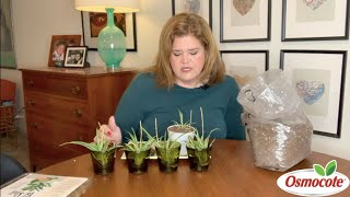 How to Replant Spider Plants with Osmocote Potshots