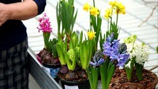Гиацинты и нарциссы - выращивание и уход