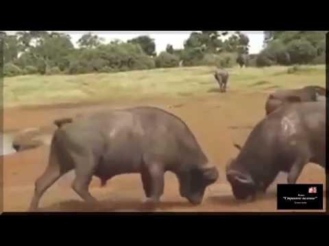15 захватывающих схваток диких животных. Дикие звери охотятся в природе - Видео онлайн