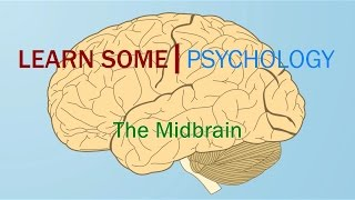 The Midbrain