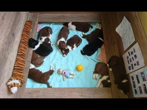 A day in the life of a 4 week-old border collie