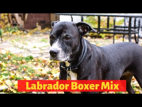 All About The Boxer Labrador Mix (Boxador) | Should You Get A Boxador For You And Your Family?