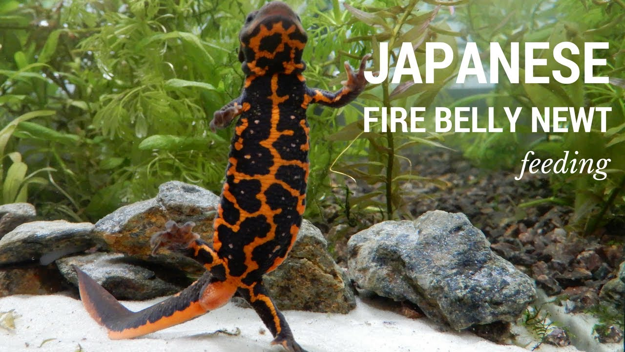 Japanese Fire Belly Newts Eating ♥ Exotic Pets