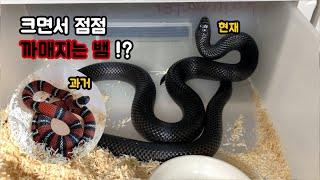 크면서 점점 흑화 해버리는 뱀! 이게 바로 블랙 밀크스…