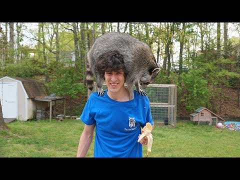 Watch this before you get a pet raccoon