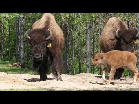 Bison Calves on Exhibit | Bronx Zoo