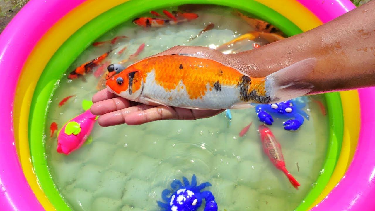 Menemukan Banyak Ikan Hias, Ikan Koi, Ikan Mas, Ikan Koki, Ikan Komet, Gurita, Kepiting, Cumi, #103