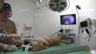 Собака проглотила перчатку. Ветеринарная эндоскопия.