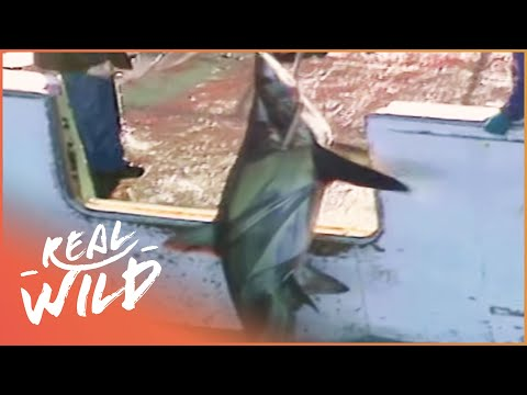 Japanese Boat Hunting And Finning Shark | Wild Things