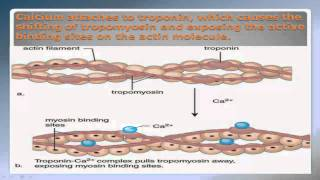 Sliding Filament Theory Part 2 NSCA Certification
