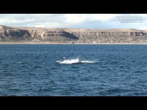 Baleines de la péninsule Valdés - Puerto Piramides & Puerto Madryn - Patagonie, Argentine