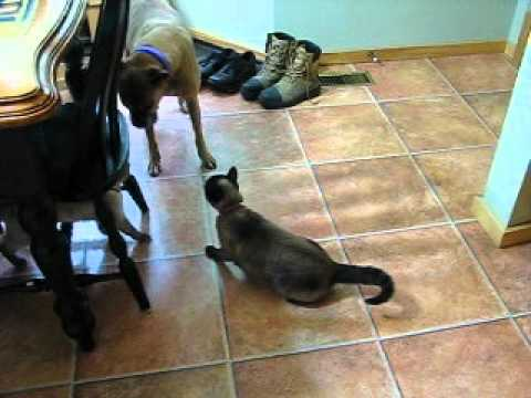 two siamese cats talking to each other