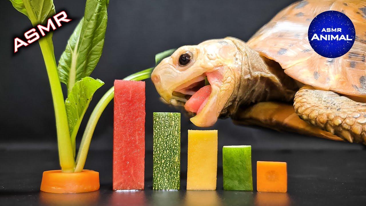 ASMR Turtle Tortoise Eating Food Fruit Vegetable 🐢98 | Animal ASMR