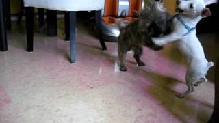 Cairn Terrier & Jack Russell Dog Sitter (junie's Dog Hotel, Singapore) Call 8186 5999.avi