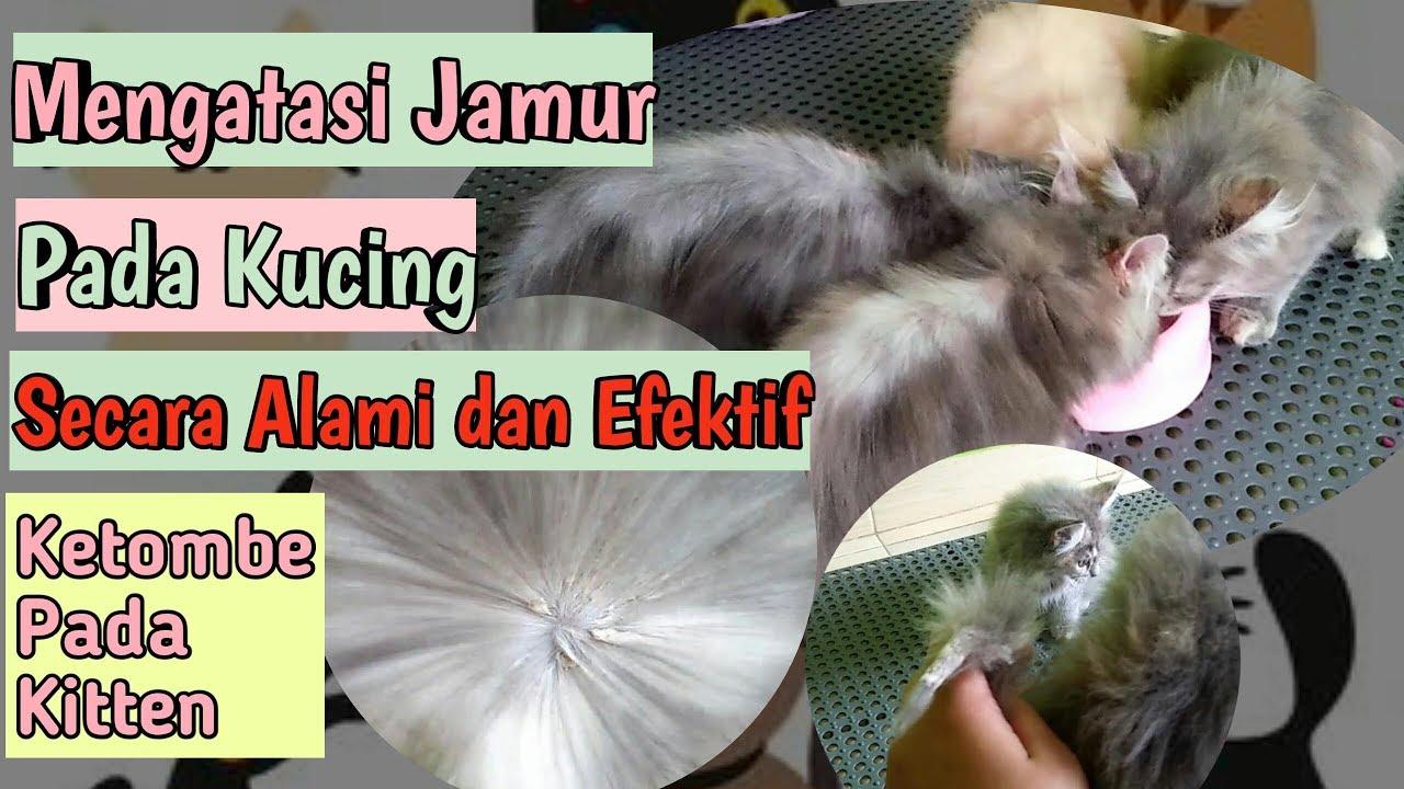 CARA MENGOBATI JAMUR PADA ANAK KUCING Mengatasi Jamur Pada ...