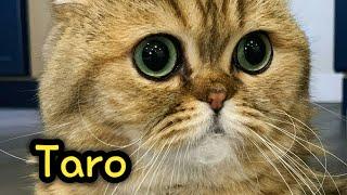 Lovely Scottish Kilt Taro Compilation : Scottish Fold Munchkin Cat
