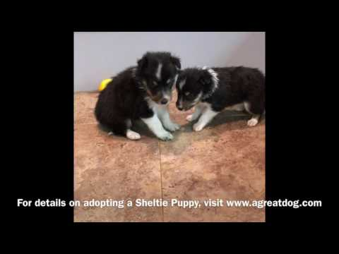 Male And Female.Sheltie