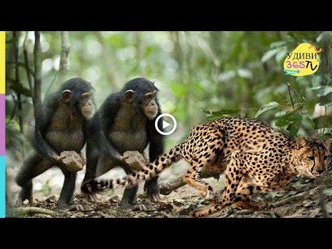 Обезьяны против гепарда. Вы такого не видели! Monkeys against a cheetah. You have not seen this!