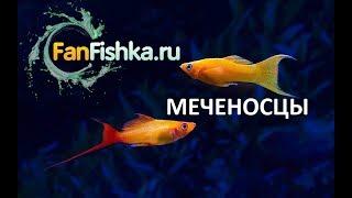 Меченосцы содержание и уход в аквариуме, размножение видео-обзор