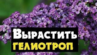видео Гелиотроп