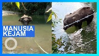 Jahat! Gajah Hamil Diberi Makan Buah Berisi Petasan, Mati Berdiri Di Sungai - Tomonews