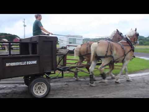 Morrisville State College draft horses